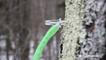 Maple syrup production is behind due to harsh winter