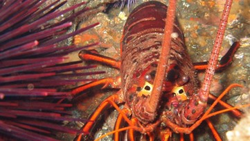 Lobster's Hair-Raising 'Rasps' Can Be Heard Nearly 2 Miles Away