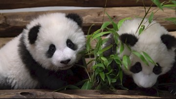 Adorable Panda Cubs Play Together Ahead of Zoo Unveiling