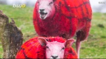 Shear-iously?! A Farm Paints Sheep Plaid To Fool Tourists!