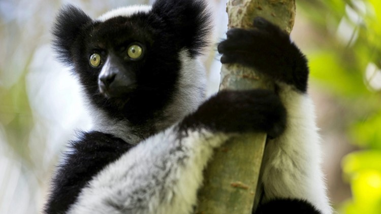 Researchers Find That This Lemur Facing Extinction Has Rhythm Like Humans Do
