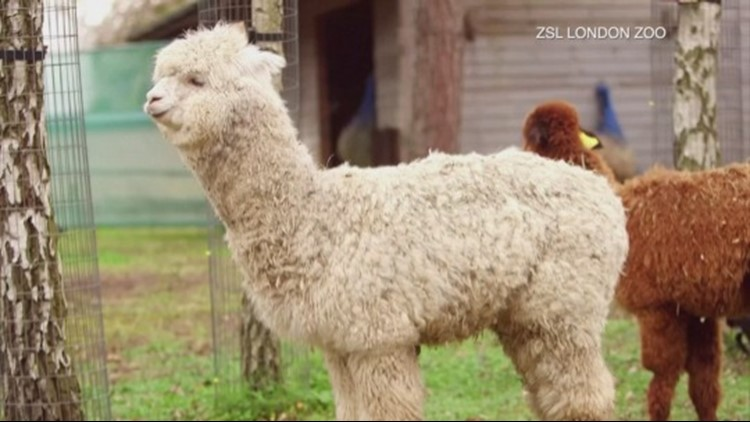 London Zoo Wants You To Help Name Their 3 New Alpacas!