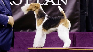 Wire fox terrier named King crowned Best In Show at Westminster