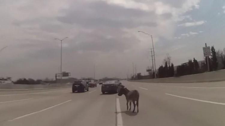 Watch: Officer corrals donkey on interstate near Chicago