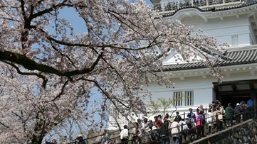 Cherry blossoms may bloom early in Japan due to mild winter