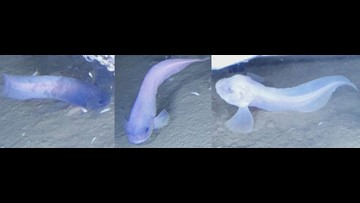 Translucent fish without scales discovered deep in the
