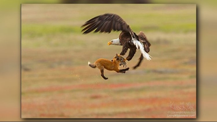 Photographer Kevin Ebi, of LivingWilderness.com, had his camera ready when an epic battle played out in the sky over San Juan Island between a bald eagle, fox, and rabbit.