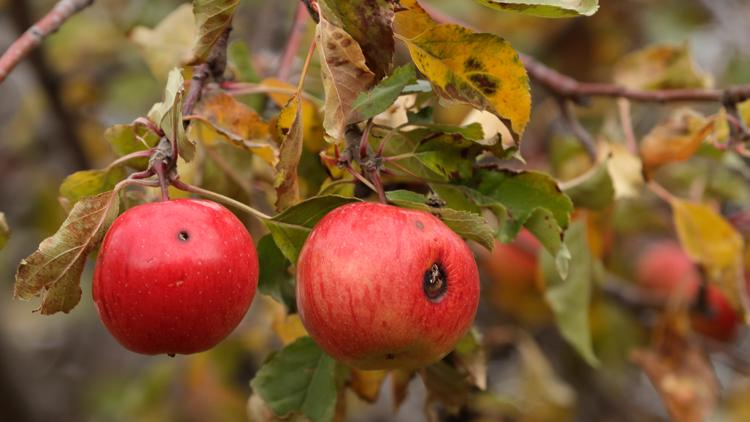 7 apple varieties previously thought lost have been located in Washington
