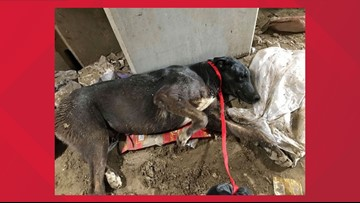 A dog was buried alive at the dump. He was saved and is recovering.