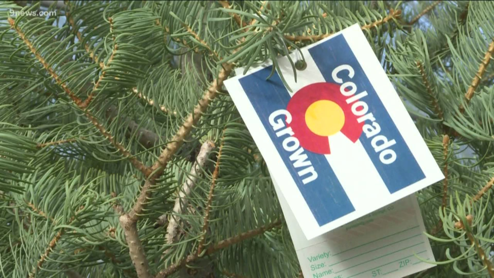 Cutting down your own Christmas tree in Colorado | newscentermaine.com