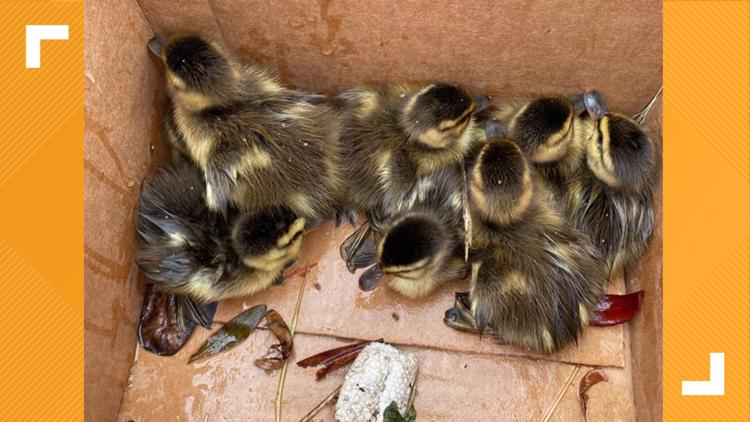 Ducklings rescued from a storm drain by Massachusetts State Trooper
