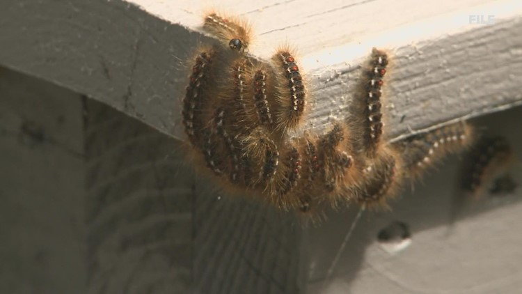 Maine's browntail moths begin to lay eggs for next year