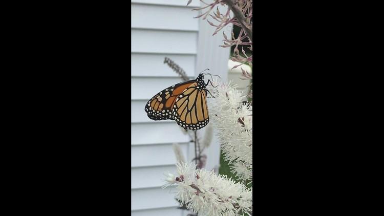 Monarch on bugbane