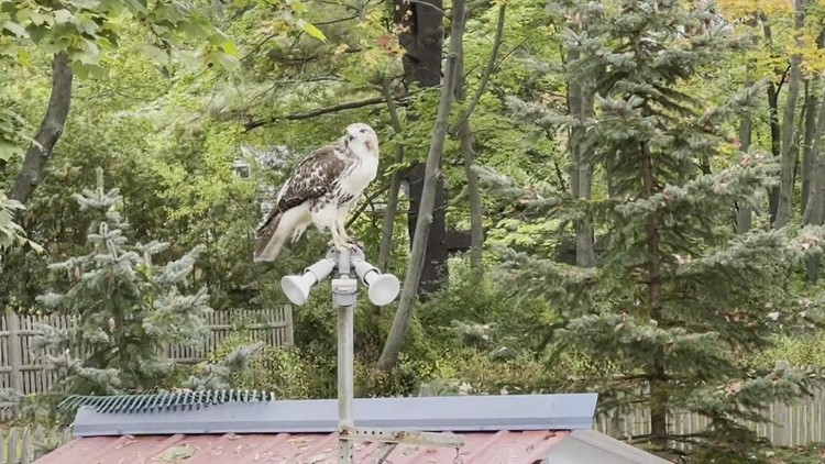 Hawk looking for take out