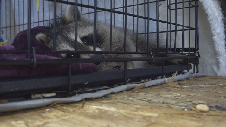 Confirmed case of rabies in Waterville