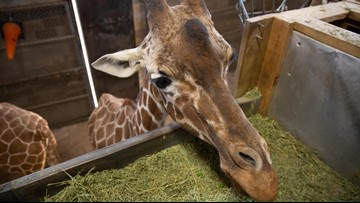 Nation's oldest living giraffe enters final days at Zoo Knoxville in Tennessee