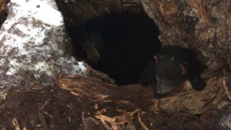 Bear cub orphan left for new family