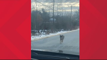 Reports of three coyote attacks in N.H. lead to its capture