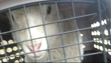 Ovine escapee can't pull the wool over deputies' eyes