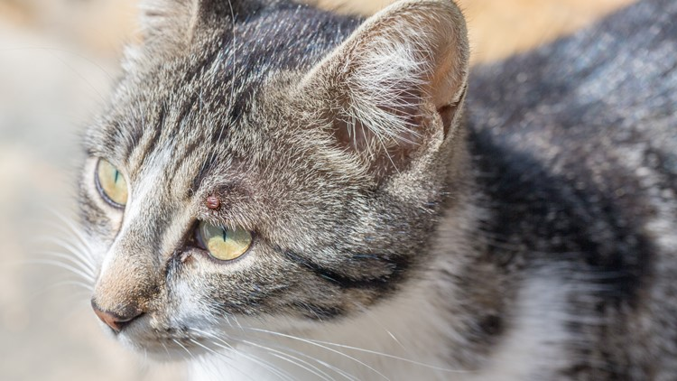 Lyme in cats: rare, but can be serious