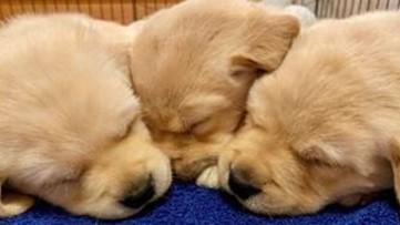 Canine live cam: Watch 8 Labrador-Golden Retriever puppies go about their days