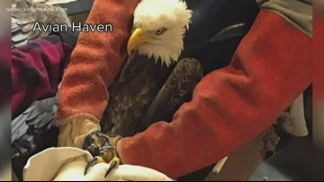 Bald eagles suffer lead poisoning in Maine