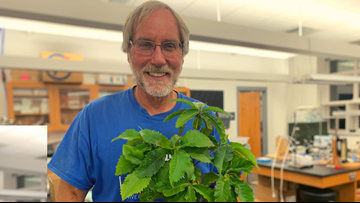UNE professor working to restore the American chestnut tree one seed at a time