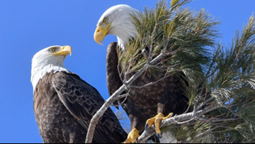Something to squawk about: Bald eagle couple chronicled in Cumberland County for years