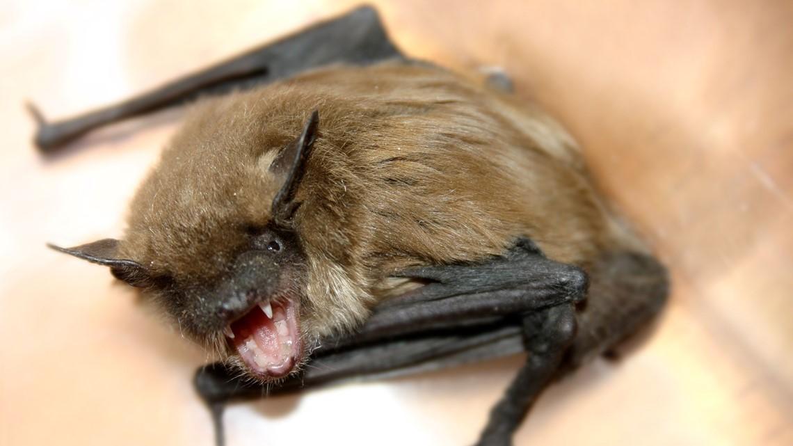 Maine CDC: Bangor bat was rabid; those who handled may be at risk