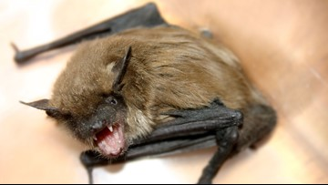 Maine CDC: Bangor bat was rabid; those who handled may be at risk