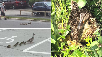 Make Way for Maine Ducklings | Restaurant staff help 10 ducklings to safety