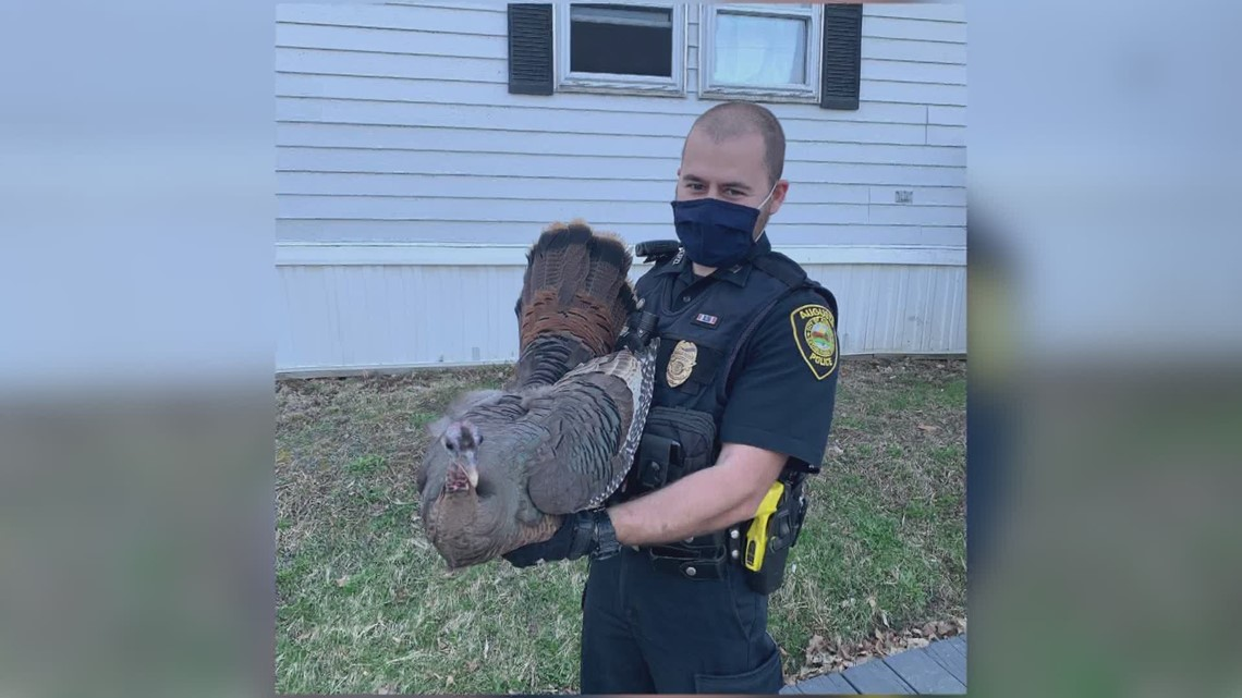 """Officers respond to """"fowl play"""" when a turkey flies through resident window"""