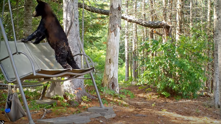 Bears, bobcats, and moose, oh my! Get a glimpse of Maine wildlife with Milford man's backyard camera