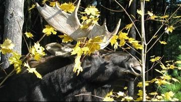 End of an era: George, Maine Wildlife Park's oldest moose, dies at 14