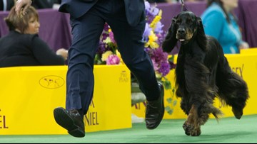 Maddie of Maine wins Best in Breed at Westminster
