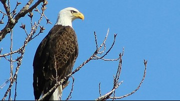 Maine Warden Service, USFWS seeking information on bald eagle shooting
