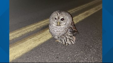 Maine state trooper takes stunned owl into custody
