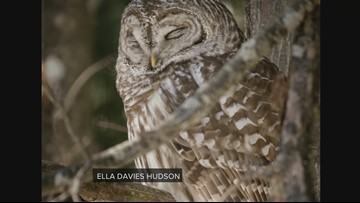 Spring brings increased sightings of Barred Owls in Maine