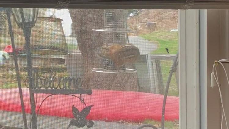 Theodore chipmunk thinks he's a bird