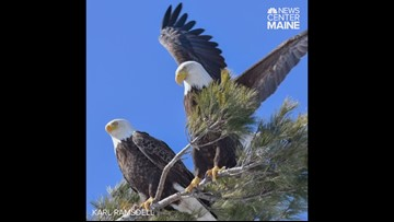 Bald eagle couple squawk and fight but still in love