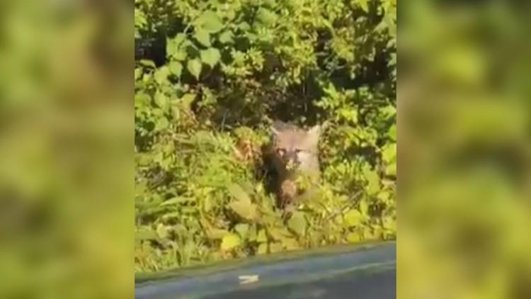 Video shows possibly rabid fox attacking Bath men
