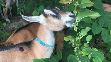 When pesticides aren't an option, goats are called to the rescue in South Portland