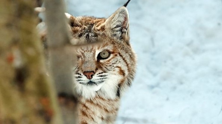Post-mortem examinations of 38 lynx found a lungworm infection and inflammation in many of them.