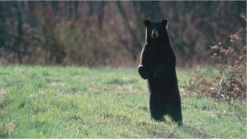Maine puts off plan to gauge impact of human food on bears
