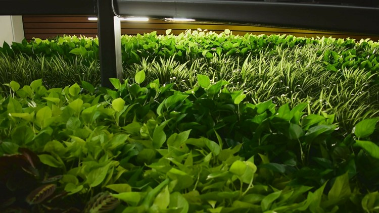 Living Wall At UNE In Biddeford Is Made Up Of 960 Plants.