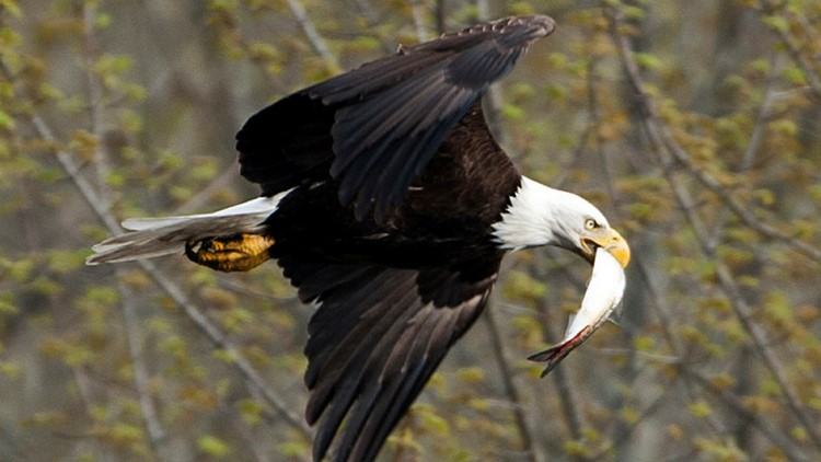 Evidence shows the eagle population in Maine has improved greatly in the last five years after nearly disappearing from Maine in the 1970s.