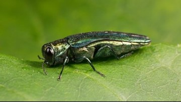 Beetle connected to ash tree deaths found in Portland, Maine