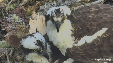 Osprey nest camera draws viewers from around the world