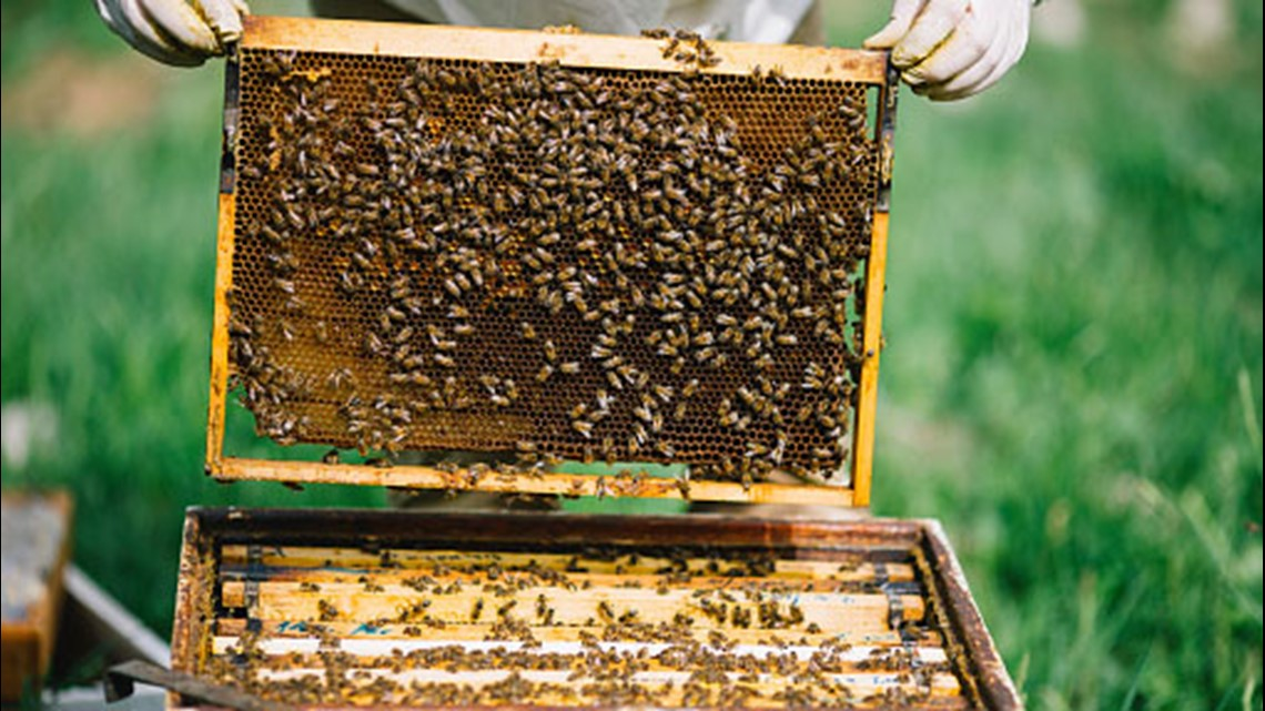 """UMaine wants public to """"bee"""" engaged about pollinators"""