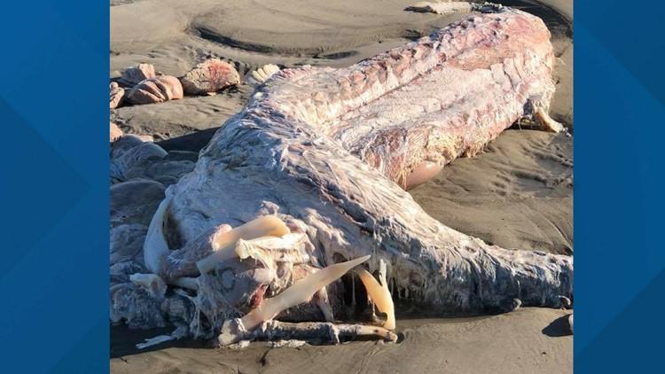 Dead shark carcass (1)_1532017704876.png.jpg